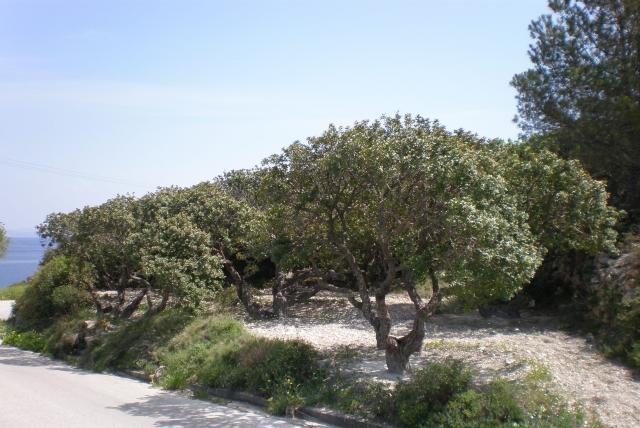 Mastic trees